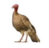 Female Turkey standing. Stock Photo