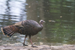 Female Turkey Royalty Free Stock Photos