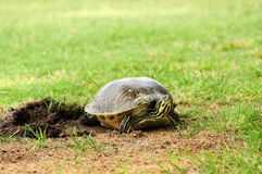 Female Turtle Covering Eggs Royalty Free Stock Image