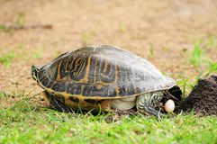 Turtle dropping egg. Female turtle dropping an egg in a South Florida golf course . This image is part of a series showing a turtle laying several eggs in holes stock images