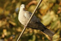 Turtledove in the tree. Female turtledove perched in a european tree Royalty Free Stock Images