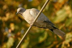 Turtledove in the tree. Female turtledove perched in a european tree Stock Photos