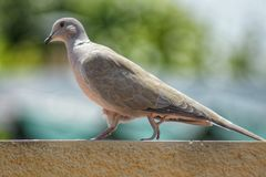 Turtledove walking in a roof. Female turtledove walking in a roof Royalty Free Stock Photos