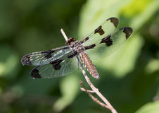 Female Twelve-spotted Skimmer dragonfly Royalty Free Stock Image