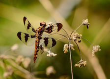 Female twelve-spotted skimmer Libellula pulchella royalty free stock photo
