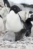 Female and two Adelie penguin chick. Stock Images