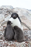 Female and two chicks Adelie penguin sitting in a nest on a summ Royalty Free Stock Image