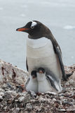 Female and two chicks on nest Gentoo penguin Stock Photo