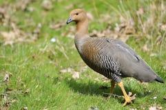 Female Uplan Goose walking on grass Stock Images