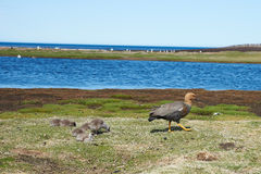 Female Upland Goose with Chicks Royalty Free Stock Photos