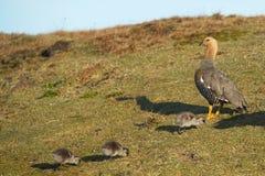 Female Upland Goose and Goslings Royalty Free Stock Photo