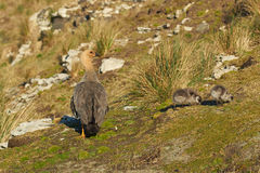 Female Upland Goose and Goslings Royalty Free Stock Photography