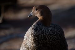 Female of upland goose or Magellan Goose. The upland goose or Magellan Goose Chloephaga picta is a sheldgoose of the shelduck-sheldgoose subfamily of the royalty free stock photography