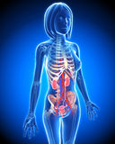 Female Urinary system in blue x-ray loop Royalty Free Stock Images