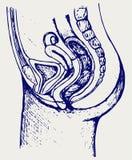 Female urinary system Stock Photo