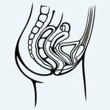 Female urinary system Royalty Free Stock Photo