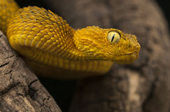 Female variable bush viper Royalty Free Stock Photo