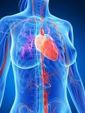 Female vascular system Royalty Free Stock Image