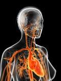 The female vascular system Royalty Free Stock Photo
