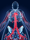 Female vascular system Royalty Free Stock Images