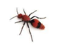 Female Velvet Ant Wingless Wasp. A female Velvet Ant Dasymutilla occidentalis isolated on a white background Royalty Free Stock Images