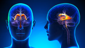 Female Venctricles of Brain Anatomy Stock Photos