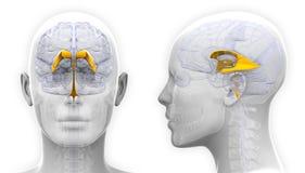 Female Venctricles of Brain Anatomy - isolated on white Royalty Free Stock Image