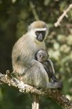 Female Vervit Monkey and her baby sitting in tree outside of Lewa Wildlife Conservancy, North Kenya, Africa Stock Images