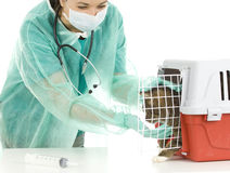 Female vet with cat in surgery Stock Photography