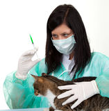 Female vet with cat in surgery Stock Image