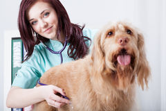 Female vet during check-up Royalty Free Stock Photography