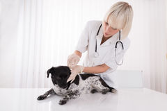 Female Vet Cleaning Dog`s Ear Stock Image