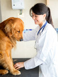 Vet checking a dog Royalty Free Stock Image