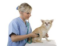 Female vet examines lap dog. Female vet examines the heart of a lap dog stock image