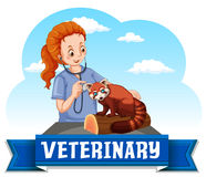 Female vet examining red panda Stock Images