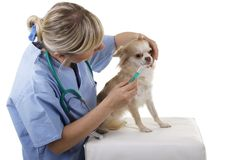 Female vet gives medicine to a lap dog. Isolated on white Royalty Free Stock Photography