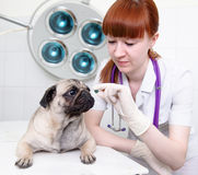 Female vet giving a pill to a obedient dog Stock Photos