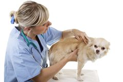 Female vet palpates a small dog. Isolated on white stock photography