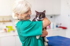 Female veterinarian with a cat in clinic. Female veterinarian examining a cat in her office royalty free stock photo
