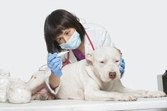 Female veterinarian checking temperature of dog over gray background Stock Photo