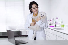 Female veterinarian checks a maltese dog. Beautiful female veterinarian checks a maltese dog using a stethoscope in the hospital Stock Image