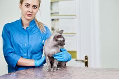 Vet doctor with sphynx Royalty Free Stock Image