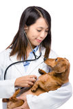 Female veterinarian exam dachshund dog Royalty Free Stock Photography