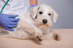 Female veterinarian examines little dog with Royalty Free Stock Photos
