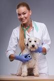 Female veterinarian examines little dog with Stock Image