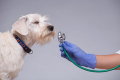 Female veterinarian examines little dog with Royalty Free Stock Photography
