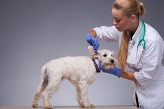 Female veterinarian examines little dog teeth and Stock Images