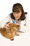 Female Veterinarian Examines Mini Dachshund Royalty Free Stock Images