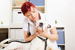 Veterinarian examing a dog Royalty Free Stock Photo