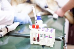 Female veterinarian examining a dog in a vet clinic. A portrait of a female veterinarian examining a dog in a vet clinic royalty free stock image